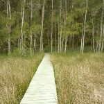 Walking into the casuarina forest beside the saltmarsh (330851)