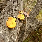 Fungi near Mt Sugarloaf (341746)