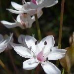 Milkmaids(Burchardia umbellata) (344233)