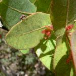 Bug on banksia leaf (34814)