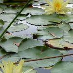 Water Lilies on Brooklyn Dam (351043)