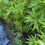 Ferns beside Joe Crafts Creek (355991)