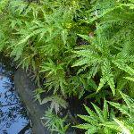 Ferns beside Joe Crafts Creek (355991)