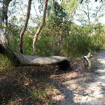A bent scribbky gum north of Glendale Road (356573)