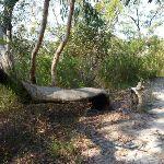A bent scribbky gum north of Glendale Road (356573)