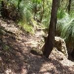 Grass trees on the Great North Walk below Heaton Gap Lookout (359069)