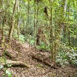 Dense forest on the Lyrebird Trail (364802)