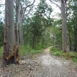 Tooheys Road winding through the tall eucalypt forest (368435)