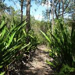 Gymea Lilies north of Somersby Reservoir (371641)