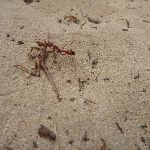Ant in sand on the Awabakal Nature Reserve (391946)