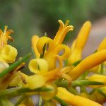Pine leaf Geebung (Persoonia pinafolia)In bloom (392432)