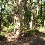 Large eucalyptus forest in Blackbutt Reserve (400303)