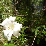 Flower in forest in Blackbutt Reserve (400504)