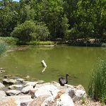 Black swan in large pond in Richley Reserve (401581)