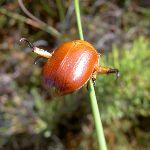 Beetle (40221)