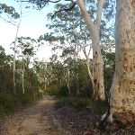 Scribbly gums south of Megalong Village site (411791)