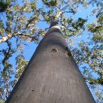 Blue Gum in the Forest (49844)
