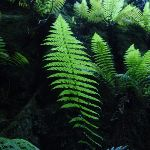 Ferns on Grand Canyon wall (51914)