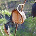 Seed pod (52328)