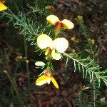 Pea Flower (Dillwynia elegans) (54533)