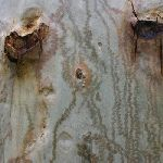 Trunk of gum tree (5782)