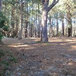 Pines picnic area in the Watagans (65018)