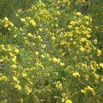Graceful Bush Pea (Pultenaea flexilis) (6559)