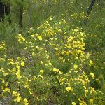 Graceful Bush Pea (Pultenaea flexilis) (6565)