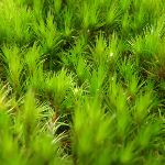 Moss growing in Fairylands (67287)