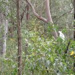 Cockatoos eating in bush (73515)