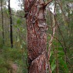 Vine strangling tree (73734)