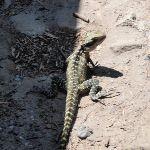 Lizard on track (78961)