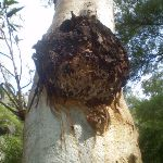 Deformity on gum tree (8921)