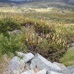Wildflowers in Kosciuszko National Park (96298)