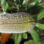 Banksia (98375)
